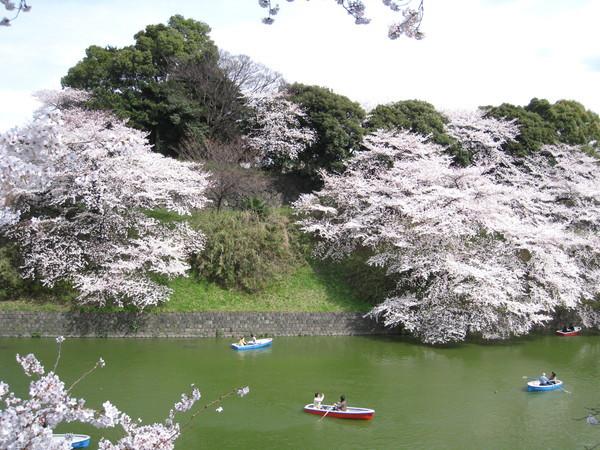 天色一點也不藍,無法凸顯吉野櫻的美麗