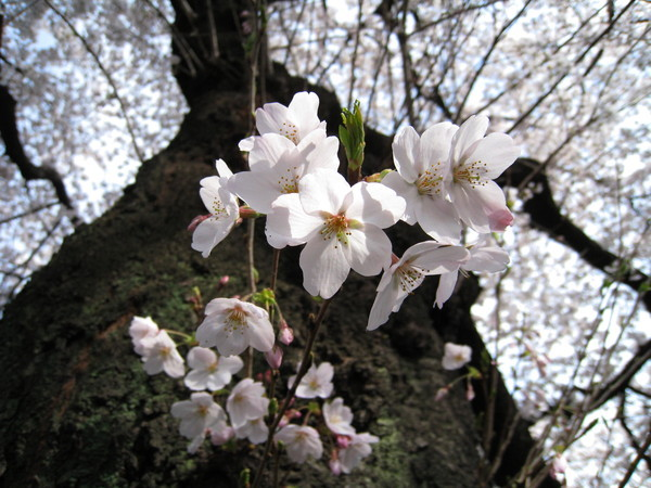 老樹幹上的櫻花