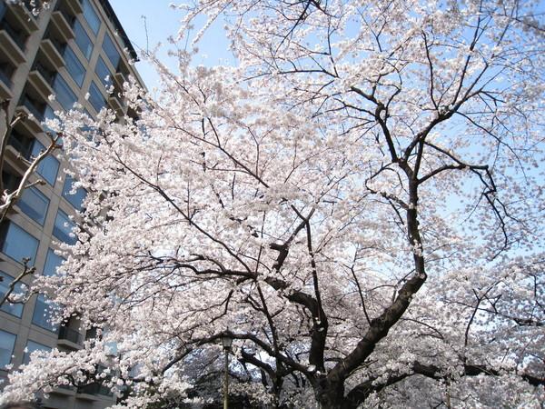 捨棄人擠人的櫻花道,反而更能輕鬆欣賞櫻花的美