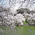 千鳥之淵沿岸的櫻花樹,聽說是昭和30年種下,歷史悠久