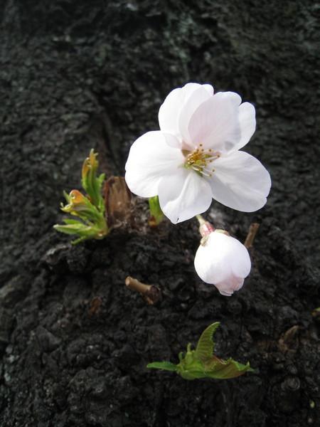 又一朵開在樹幹上的可愛小櫻花
