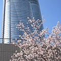這裡的櫻花因為年紀還很小,和上野公園、新宿御苑等地的不能比