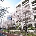 櫻花坂(Sakura Zaka)顧名思義,人行道上種滿櫻花