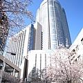 下過雨的天空特別藍,襯著櫻花的森大樓也特別美