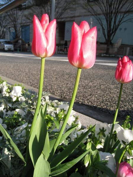 六本木Hills的けやき坂(櫸木坂)上,種植美麗的鬱金香