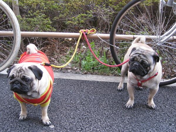 去迪士尼樂園的路上,看到兩隻帕古(pug)
