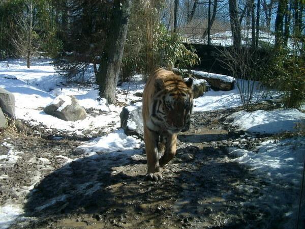 Bronx Zoo,終於讓我看到老虎了。