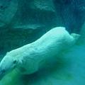 可惜水池小了點,北極熊只能來來回回繞圈圈