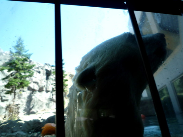和北極熊的大臉只隔一層玻璃,超震撼