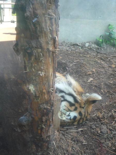 老虎在大樹後午睡