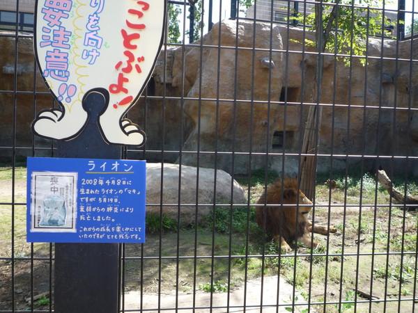 園方立了「喪中」的告示牌,說這隻獅子今年剛經歷喪子之痛