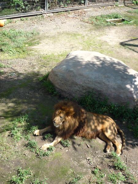 同一隻獅子,只是換個角度從高處照