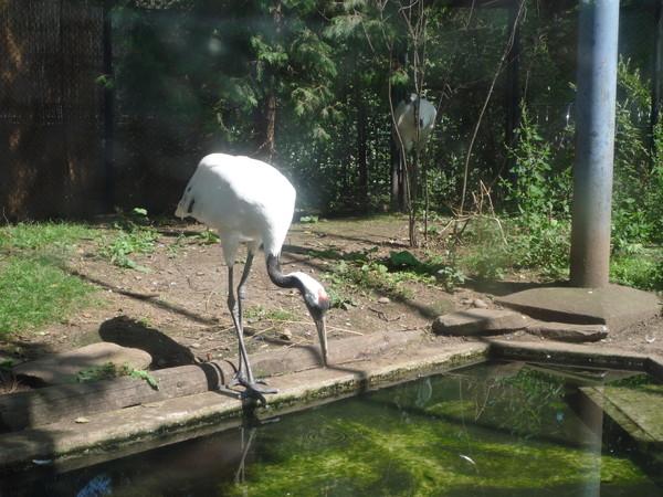這種鶴好像每個動物園裡都要聊備幾隻