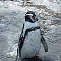 日本不少動物園有企鵝,但只有旭山動物園可以超近距離觀賞
