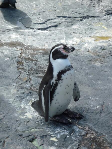 冬季還有著名的企鵝大遊行,企鵝會在特定時間在園區雪地上列隊遊行