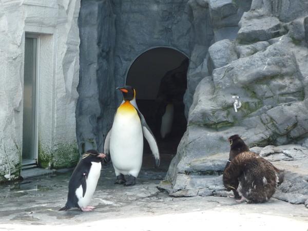 國王企鵝出來了
