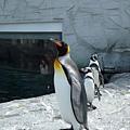 國王企鵝特別高大,讓其他企鵝相形之下像小朋友