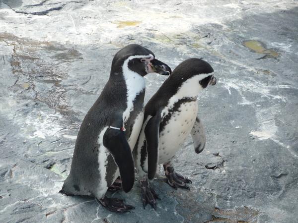 左邊那隻小企鵝一直像右邊的示好,右邊的不領情