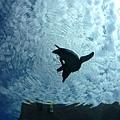 企鵝就在你頭頂或身旁游泳,有比這更酷的事嗎?