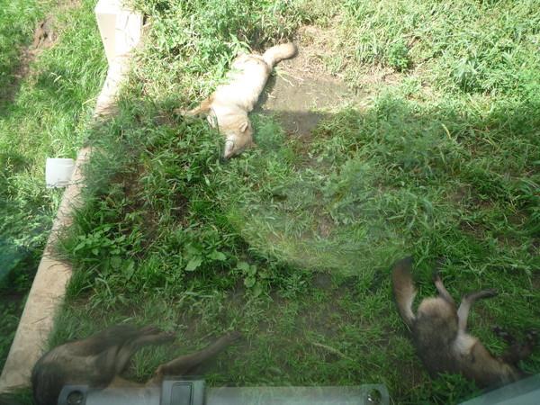 應該也只有動物園裡沒有天敵的狼才能這麼安心放肆的睡吧