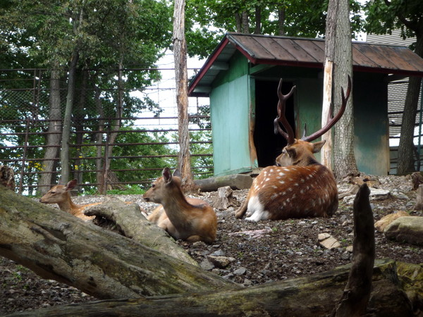 梅花鹿一家大小