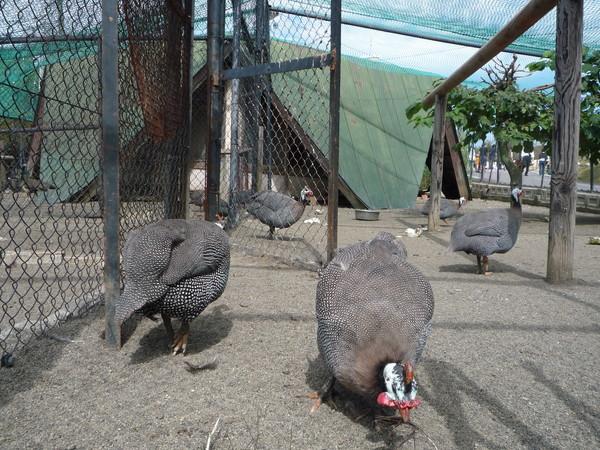 拍照時,某隻態度欠佳的雉雞過來衝撞籠子,對我發火