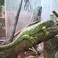 爬蟲類館裡的變色龍