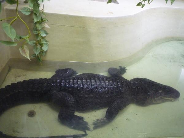 鱷魚,可惜太小隻了