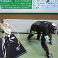 富有教育意義但我完全假看的黑猩猩骨骼標本