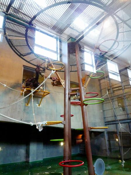 給黑猩猩一家大小棲息的遊樂設施,高處附有玻璃窗,方便遊客拍照