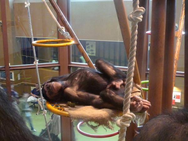 這隻青少年猩猩早就習慣吵鬧的遊客,睡得超香甜