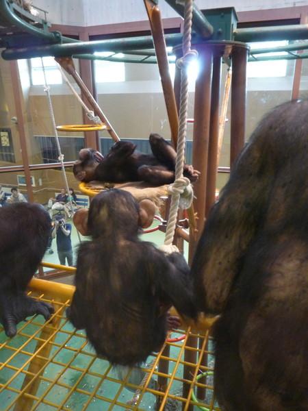 小猩猩和猩猩媽