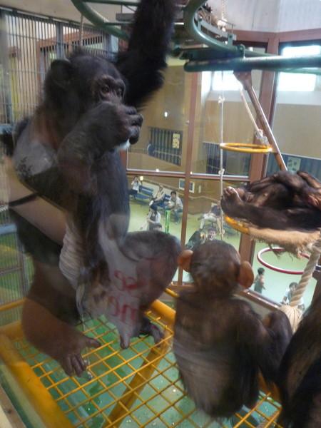 (設計對白)猩猩爸突然站起來:這些愛拍照的蠢蛋好煩,我們走吧