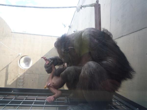 (設計對白)猩猩媽:啊,寶貝你怎麼拉屎了?