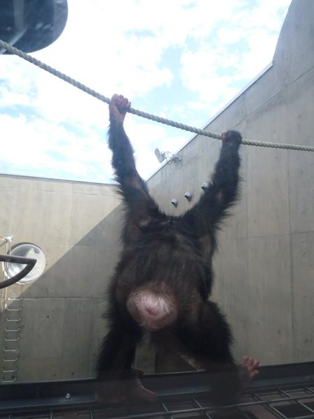 這隻黑猩猩顯然在叛逆期,對遊客不太爽