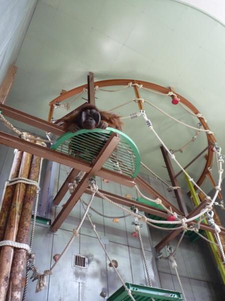 體型超大的紅毛猩猩在高空中俯瞰遊客