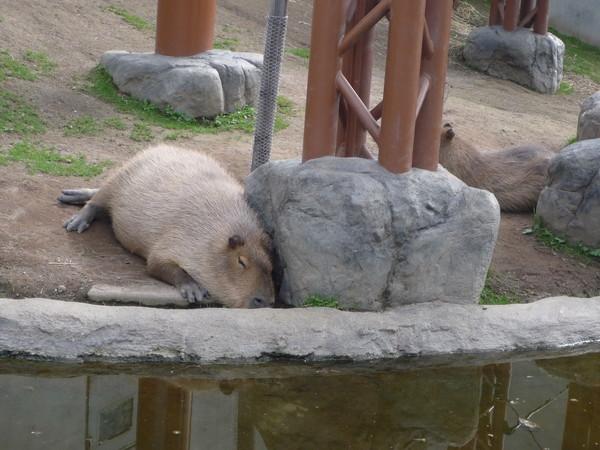 這是「水豚」,此名來自它的拉丁語名字,即「水中的豬」﹝果然有像﹞