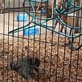 彌猴專心在草堆裡找可食用的種子