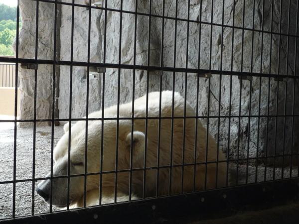 這隻就是我剛剛透過半圓形觀景窗遠望半天的愛睡熊