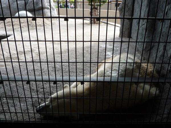 第三種觀賞北極熊的方式,是直接隔著籠子近距離看