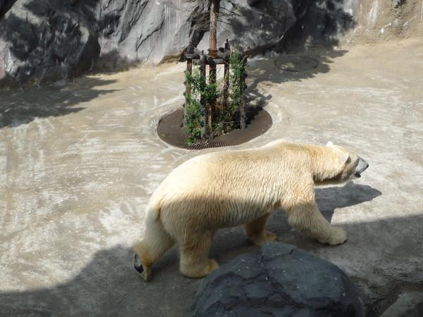 這隻北極熊焦躁不安,不停繞圈子走來走去