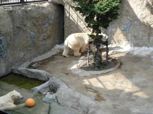 觀察了五分鐘,這隻熊都都繞著樹走,沒停下來過