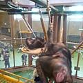 猩猩媽就牽著小黑猩猩一起爬繩索下樓了