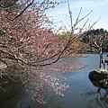 池邊的櫻花很有味道