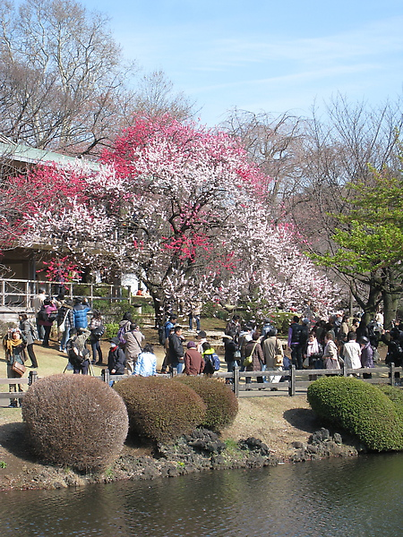 遠遠就看到人潮圍著一棵雙色櫻花拍照