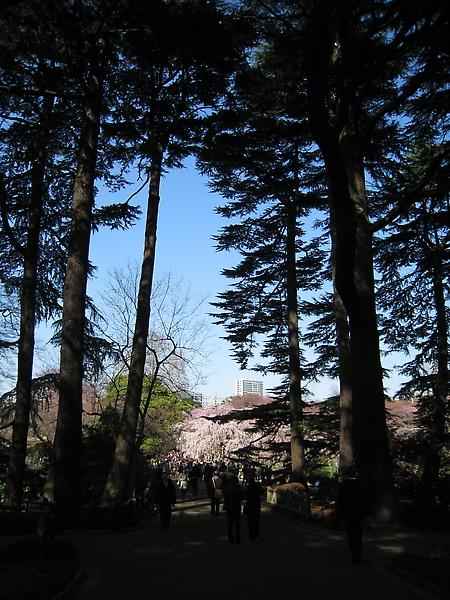 站在陰暗的林間步道回望櫻花