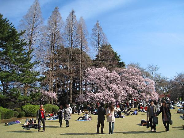 如果在東京只能選一個地方賞櫻,我會選新宿御苑