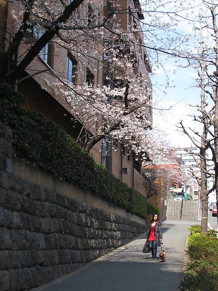 從麻布散步到六本木吃午餐的路上,發現櫻花
