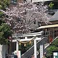 十番稻荷神社的櫻花也開了