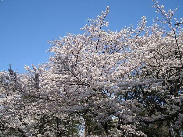 上野公園最具代表性、數量也最多的,是白色的染井吉野櫻